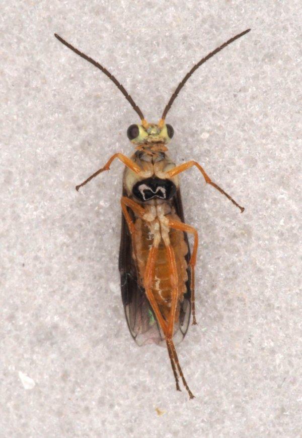 Heterarthris microcephalus male Credit Andrew Green