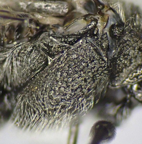 Dolerus ferrugatus male mesopleuron Credit Andrew Green