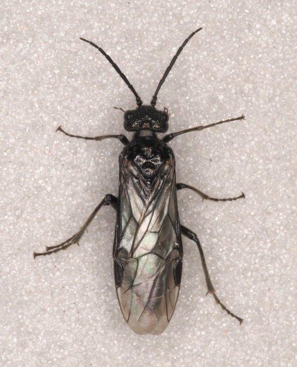 Dolerus possilensis female Credit Andrew Green
