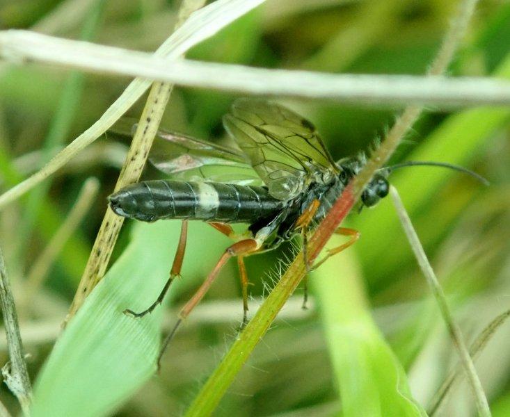 Allantus truncatus female Credit Sue Taylor