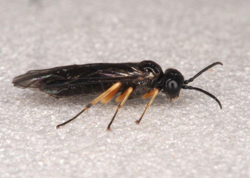 Ametastegia albipes female Credit Andrew Green