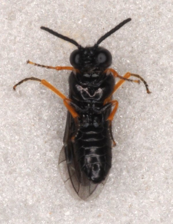 Eutomostethus gagathinus male Credit Andrew Green