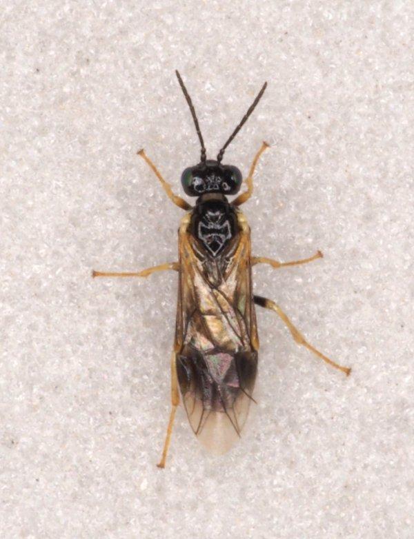 Fenusella nana female Credit Andrew Green
