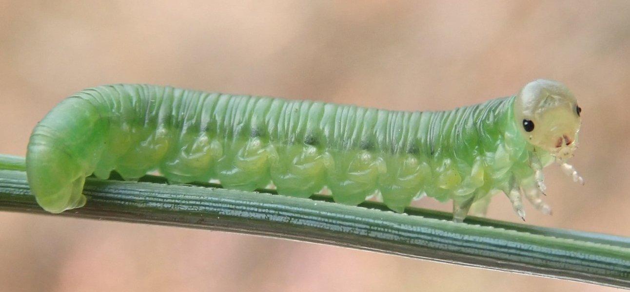 Gilpinia frutetorum eonymph Credit Dave Gibbs