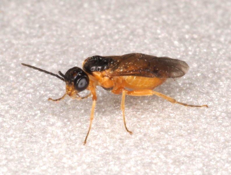 Hoplocampa pectoralis female Credit Andrew Green