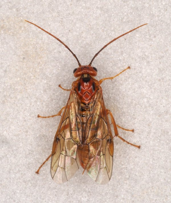 Nematinus caledonicus female Credit Andrew Green
