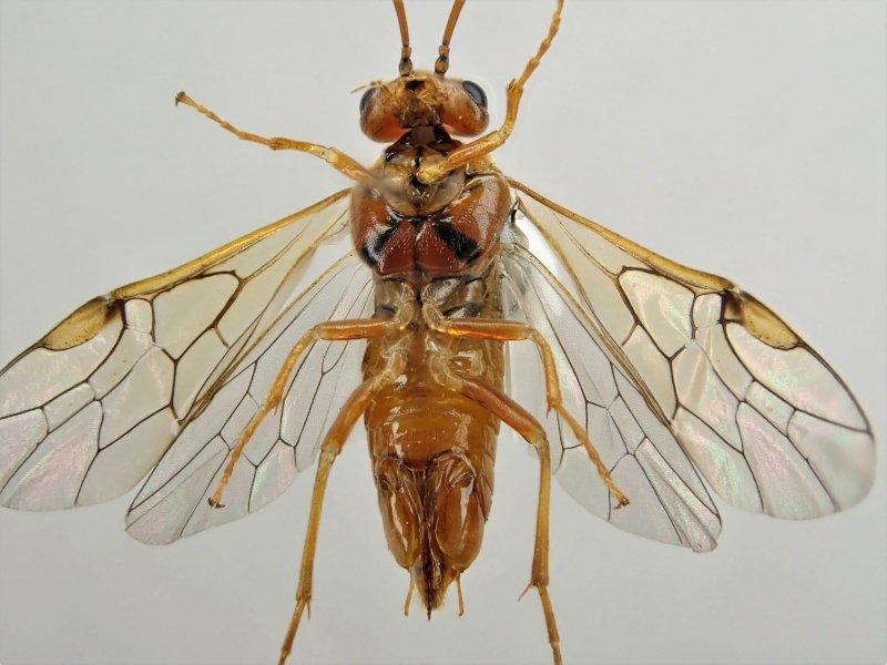 Nematinus acuminatus female Credit Ian Andrews