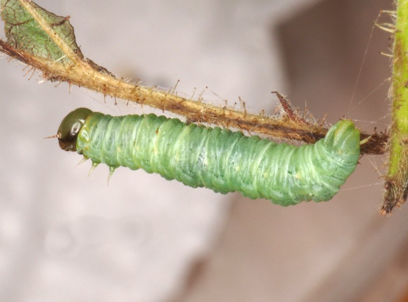 Pamphilius fumipennis late instar larva Credit Andrew Green