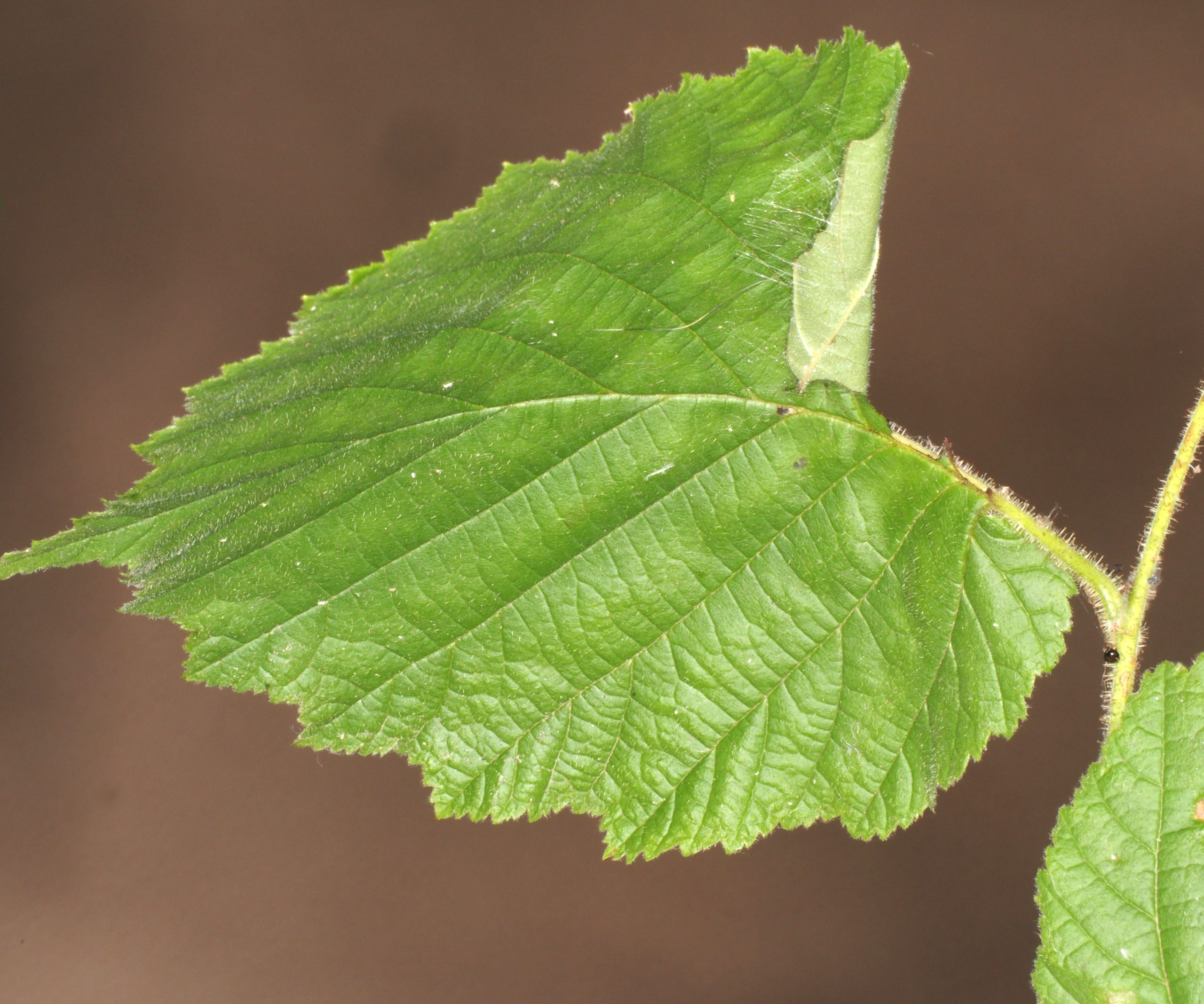 Pamphilius fumipennis leaf-roll Credit Andrew Green
