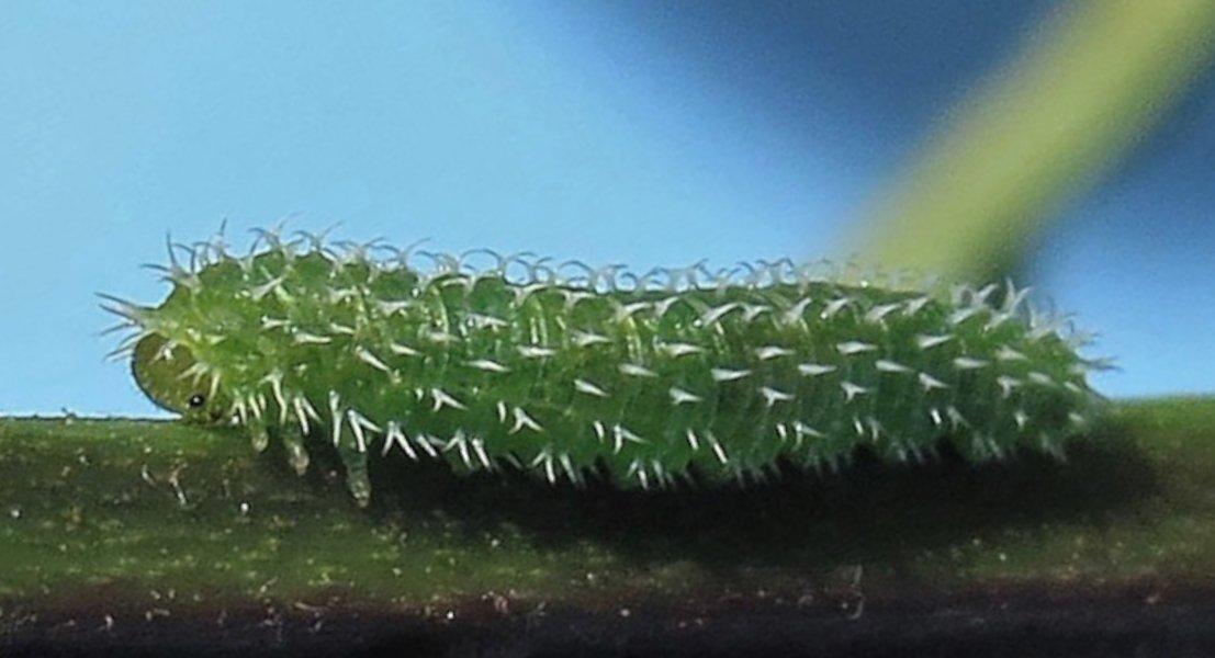 Pareophora pruni larva Credit David C Wareham