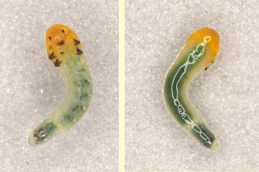 Caliroa cinxia late instar Credit Andrew Green