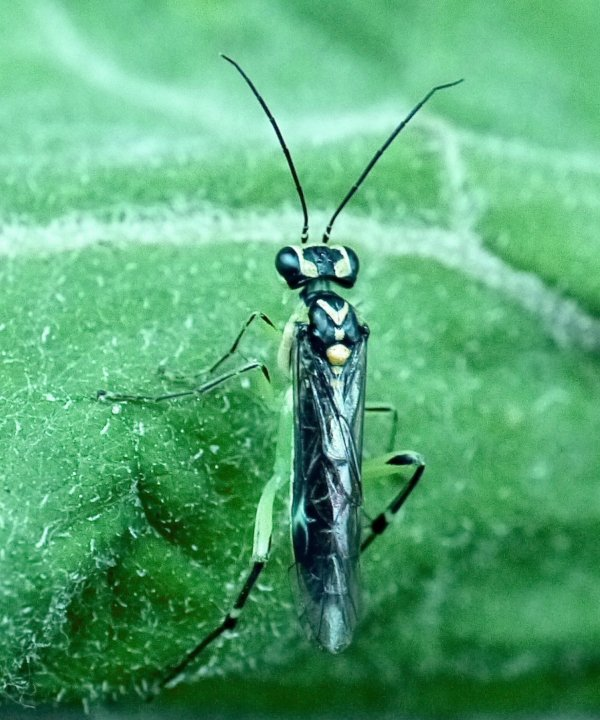 Pachyprotasis antennata female Credit Andy Brown