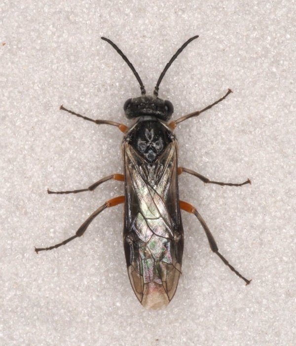 Periclista pubescens female Credit Andrew Green