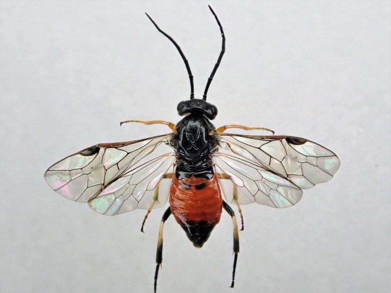 Pristiphora cincta female Credit Ian Andrews