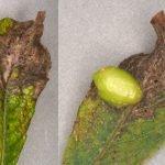 Euura pedunculi on S. caprea or cinerea Credit Andrew Green